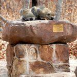 Vervet Monkeys drinking from Gibby's Birdbath